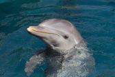 A wild bottlenose dolphin (Turisops Truncatus) — Stock Photo