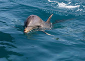 A wild bottlenose dolphin (Turisops Truncatus) — Stock Photo