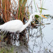 Great White Egret - 5 — Stock Photo #6305954