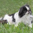 Japanese Chin - 1 — Stock Photo