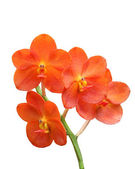 Red Scarlet Orchid — Stock Photo