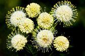 Buttonbush — Foto Stock