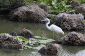 大白苍鹭 — 图库照片
