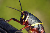 Juvenile Eastern Lubber grasshopper — Stock Photo