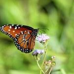 ������, ������: Queen Butterfly 3