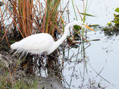 Great White Egret - 6 — Stock Photo