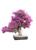 Purple Bougainvillea Bonsai — Stock Photo