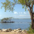 Buttonwood Biscayne National Park - 2 — Stock Photo #6443813