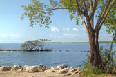 Buttonwood biscayne national park - 2 — Photo