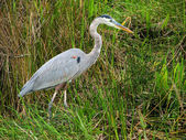 Great Blue Heron - 3 — Stockfoto