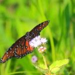 ������, ������: Queen Butterfly 4
