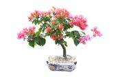 Bougainvillea Bonsai, Pink — Stock Photo