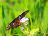 Queen Butterfly - 4 — Stock Photo