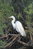 Great White Egret - 6 — Stock Photo