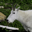 Stock Photo: Mountain Goat