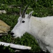 Mountain Goat — Stock Photo #5425201