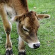Young Calf — Stock Photo #5425218