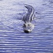 American Alligator swimming — Stock Photo