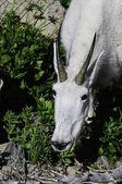 горный козел — Стоковое фото