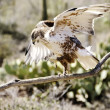 Постер, плакат: Ferruginous Hawk