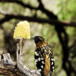 Stock Photo: Black-Headed Grosbeak