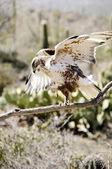Järnhaltig hawk — Stockfoto