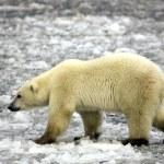 Белый медведь на льду — Стоковое фото
