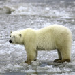 Polar Bear on Ice — Stock Photo