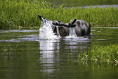 Moose taking a dip — Stock Photo