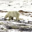 Lone bear on the tundra — Stockfoto