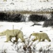 Polar bear familie — Stockfoto