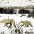 Polar Bear Family — Stock Photo #5519255