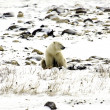 Lone polar bear — Foto Stock