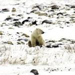 Lone polar bear — Stock Photo