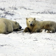Mother and cub polar bear — Stock Photo #5519262