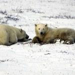 Mother and cub polar bear — Stock Photo