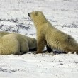 Foto Stock: Two Polar Bears