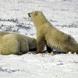 Foto de Stock  : Two Polar Bears