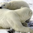 Mother and cub polar bear — Stock Photo #5519292