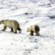 Two polar bears — Stock Photo #5519302