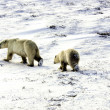 Stock Photo: Two polar bears