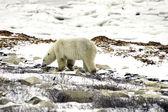 Samotny niedźwiedź na tundra — Zdjęcie stockowe
