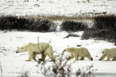 Polar Bear Family — Stock Photo