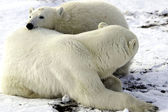 Mother and cub polar bear — Stock Photo