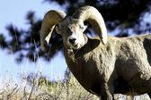 Male big horn sheep — Stock Photo