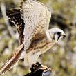 American Kestrel — Stock Photo #5531341