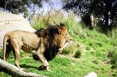 A male lion carrying a large bone — ストック写真