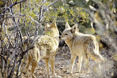 Two Coyotes — Stock Photo