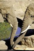 Twee olifanten — Stockfoto