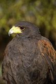 Harris's Hawk — Foto de Stock